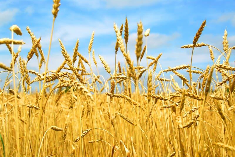 Grain field royalty free stock photos