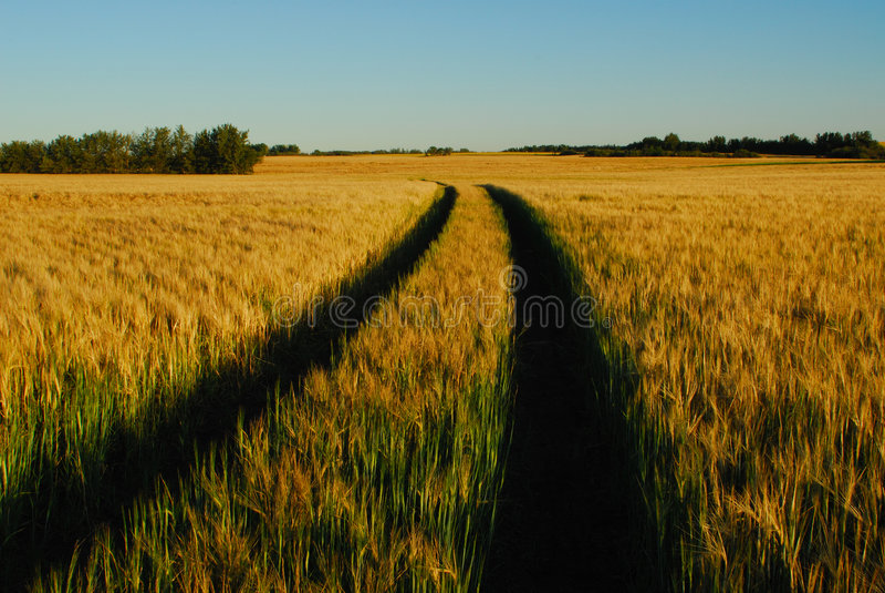 Grain field stock image