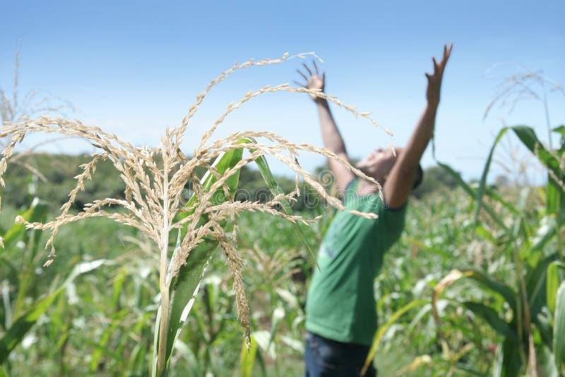Grain at field royalty free stock image