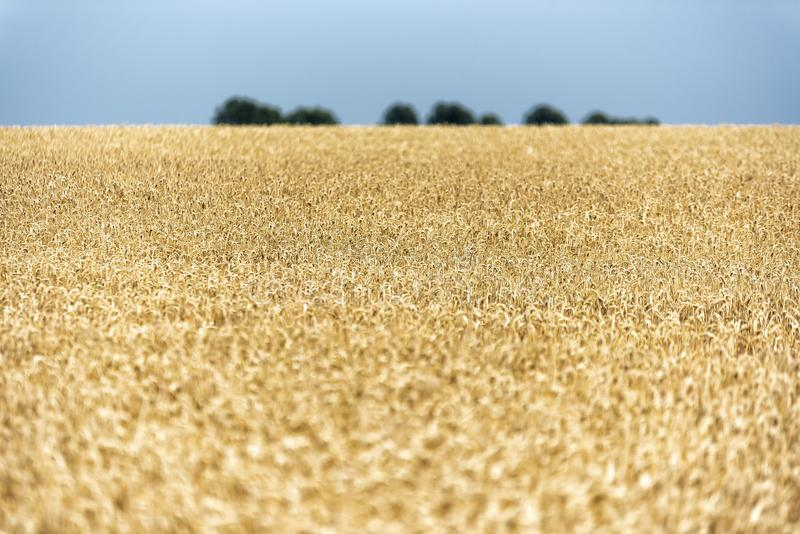 Grain on a field in Europe stock photos