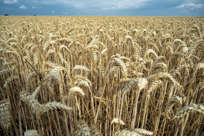 Grain on a field in Europe stock images