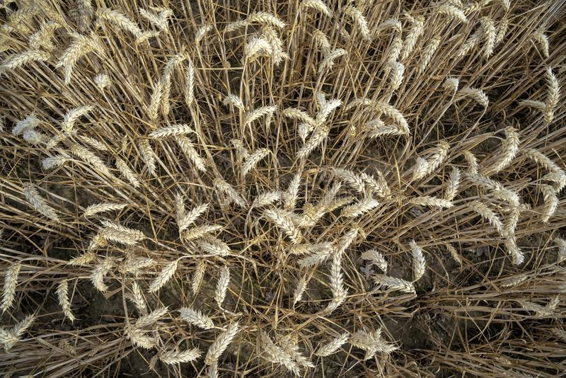Grain on a field in Europe royalty free stock images