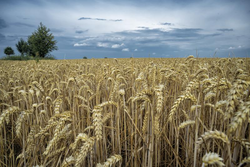 Grain on a field in Europe royalty free stock photography
