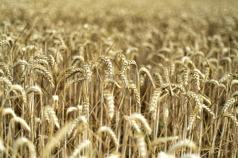 Grain on a field in Europe stock photography