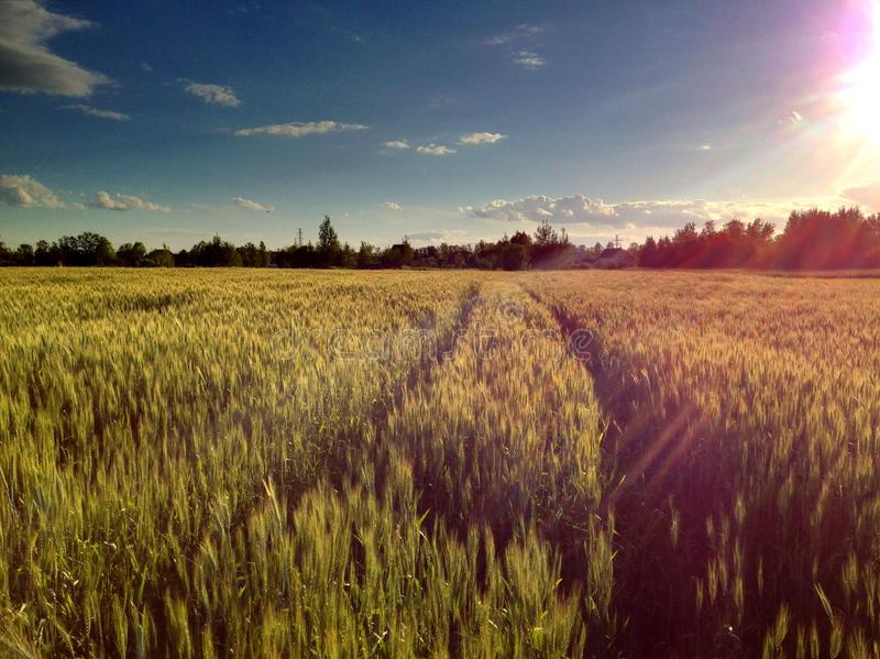Grain field. Evening on a rye field. In anticipation of the collection royalty free stock image
