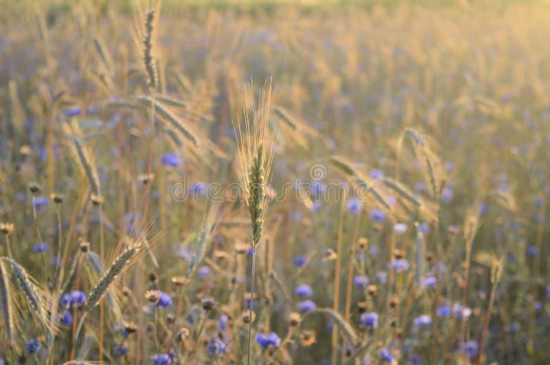Grain field focused on one  grain in sunlight stock image