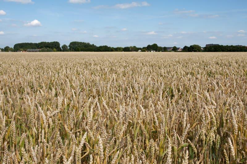 Download Grain field in holland stock photo. Image of grain, autumn - 25861234