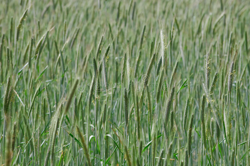 Grain field in late spring on a windy day. With fresh green leaves royalty free stock photography