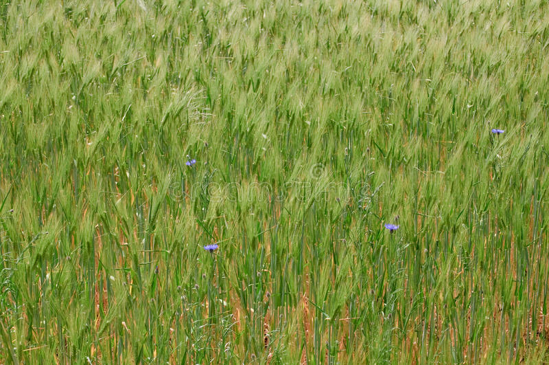 Grain field in late spring on a windy day. With fresh green leaves stock photography