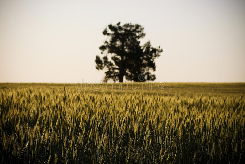 Grain Field / Meadow. Heads of golden grain stretch out in fields as dusk with a single tree in view royalty free stock photo