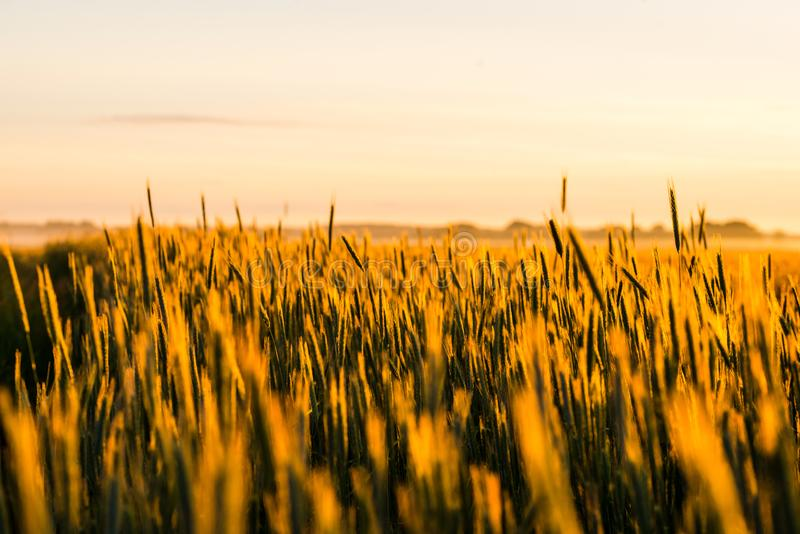 Grain field outside city. Grain field at sunrise in countryside, in background visible morning mist. Agriculture concept stock image