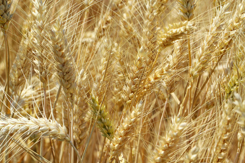 Grain field. Ripe yellow grain ready for harvest growing in a farm field royalty free stock photos