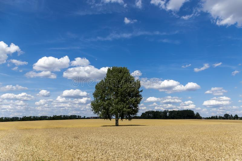 Grain fields with a single tree in the middle and a bright blue sky with many white clouds. In bavaria stock photography