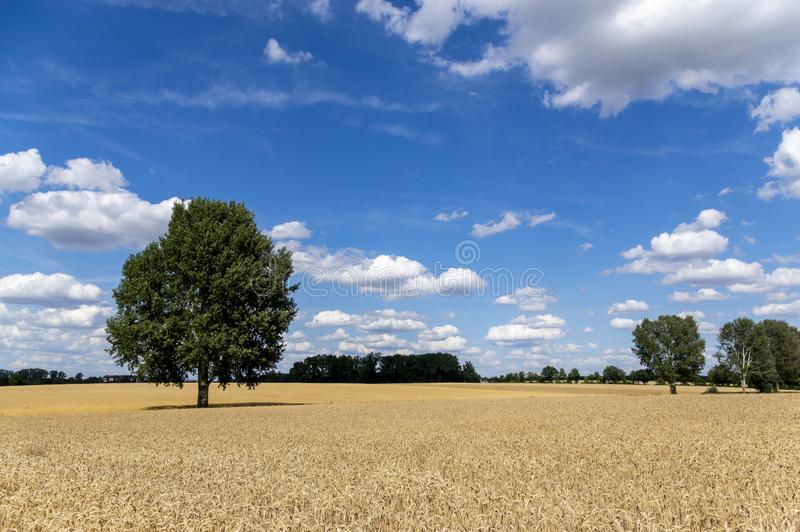 Grain fields with a single tree in the middle and a bright blue sky with many white clouds. In bavaria royalty free stock photos