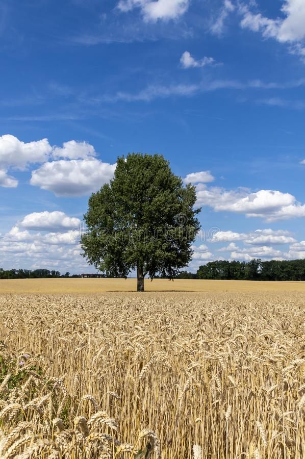 Grain fields with a single tree in the middle and a bright blue sky with many white clouds. In bavaria stock photos