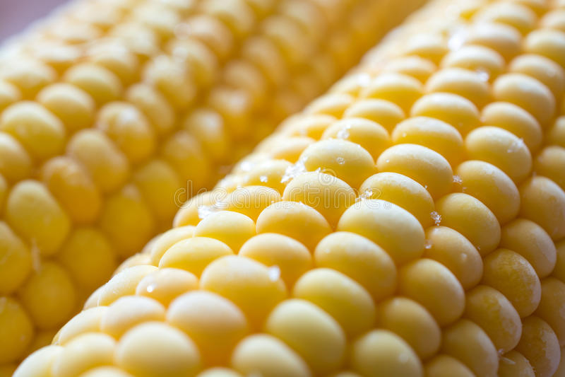 Grain of fresh sweet corn covered by hoar. Closeup stock image