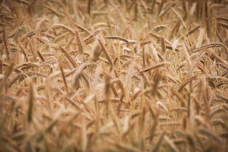 Grain, Grass Family, Food Grain, Rye Free Public Domain Cc0 Image