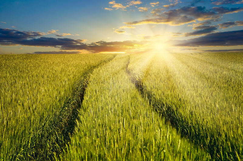 Grain harvest in the field on the rising sun background. royalty free stock photo