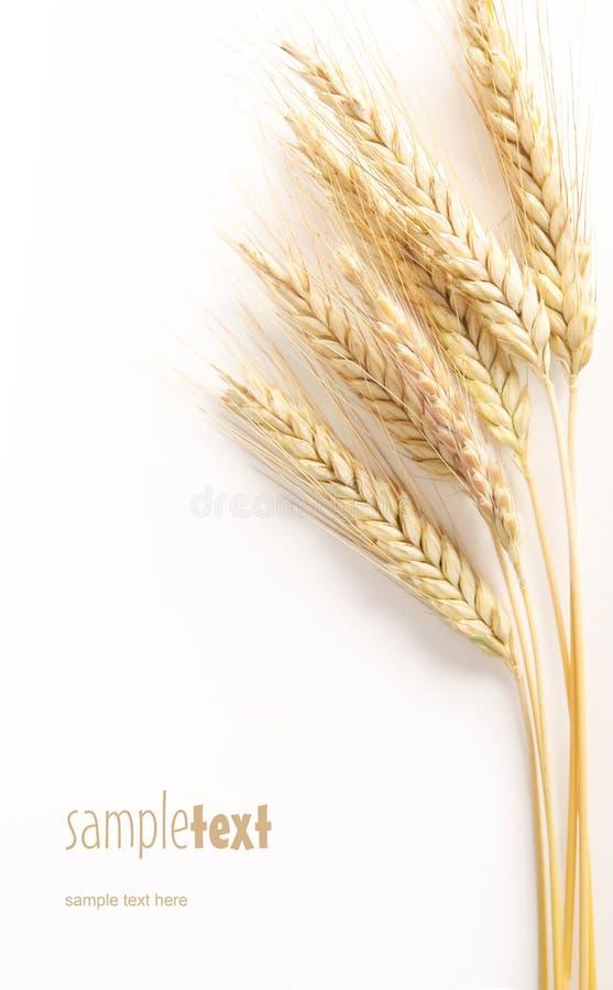 Free Grain Head Stock Photos - 9663943