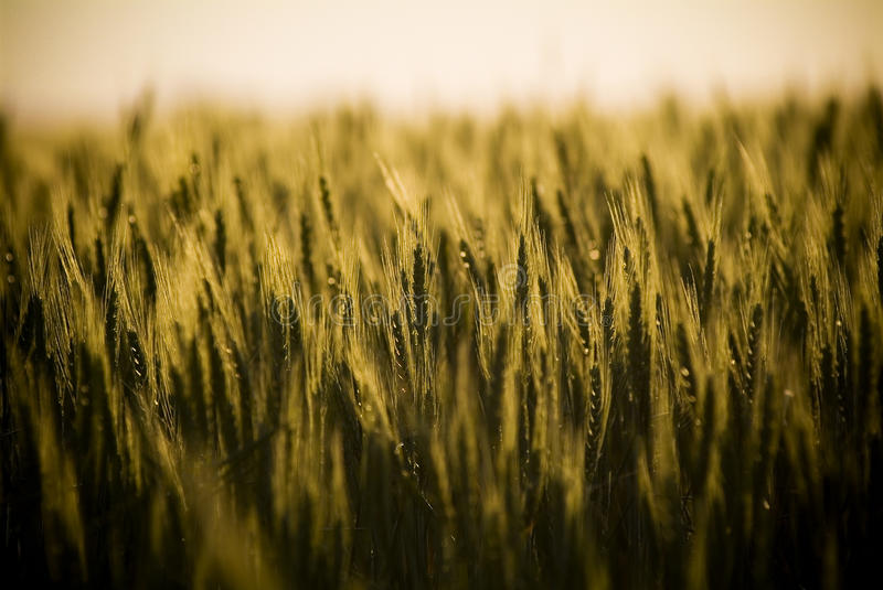 Grain Heads Closeup. Heads of golden grain stretch out in fields at dusk royalty free stock image