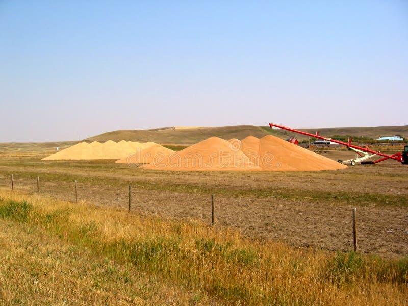 Download Grain Piles stock photo. Image of oats, grain, harvesting - 5896