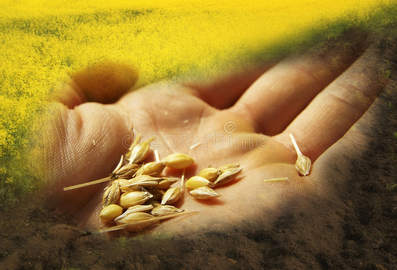 Grain seeds hand royalty free stock photos
