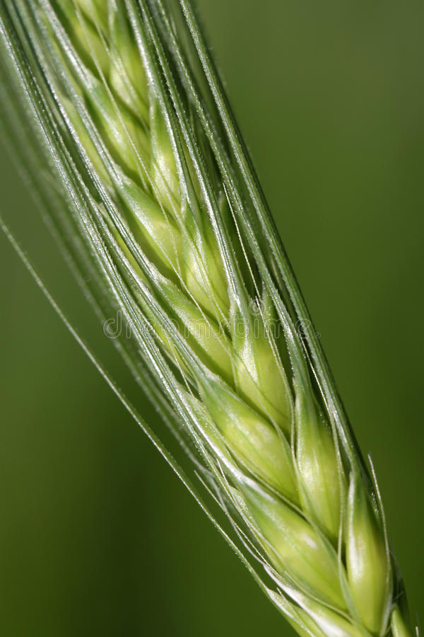 Download Grain on a stalk stock photo. Image of nature, close - 14437858