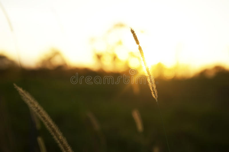 Download Grain At Sunrise With Sunbeams Stock Image - Image of grass, grow: 39508471