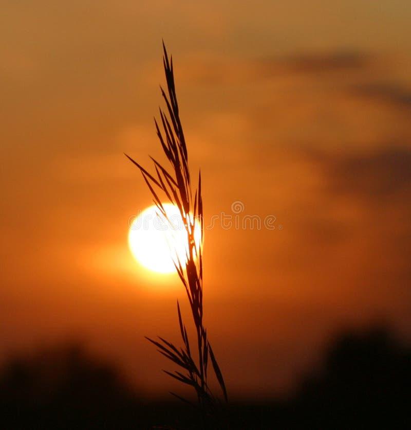 Grain at sunset stock photos