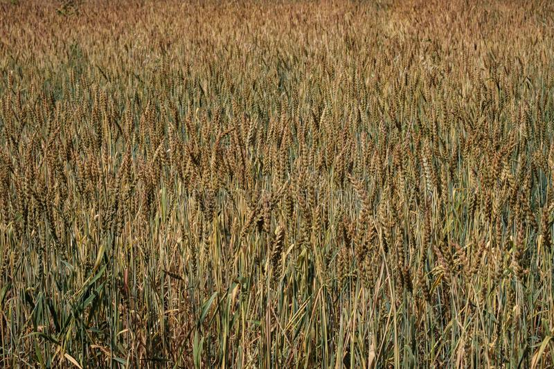 Grain of unripe wheat on the field, summer field with wheat on a summer day royalty free stock photography