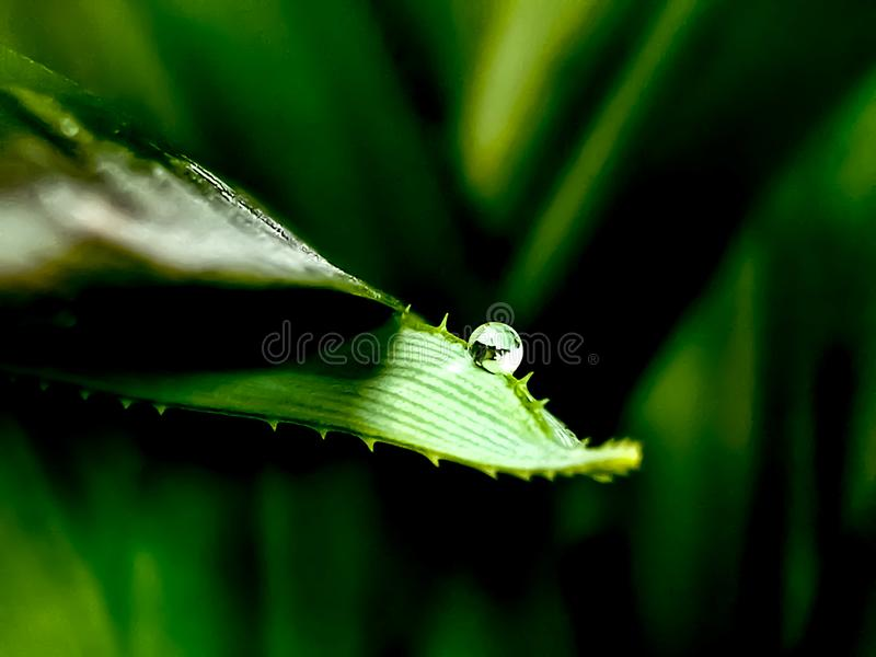 Grain of water at the tip of a green palm leaf, macro, natural green stock photos