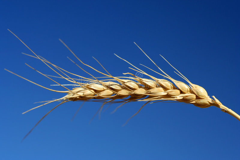 Grain wheat royalty free stock photos