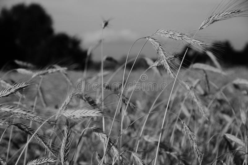 Grain royalty free stock images