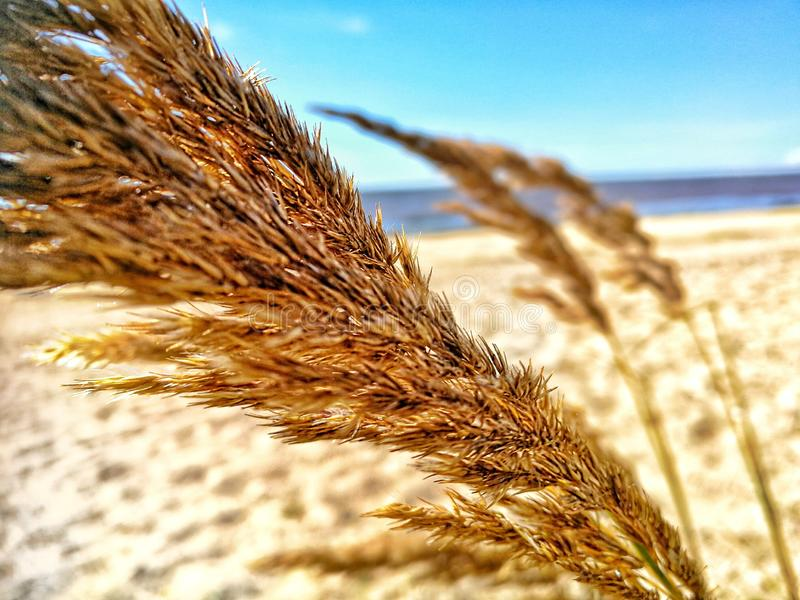 Grain in the wind stock image
