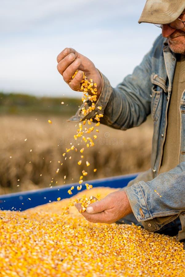 Graine de maïs à disposition d'agriculteur photographie stock libre de droits