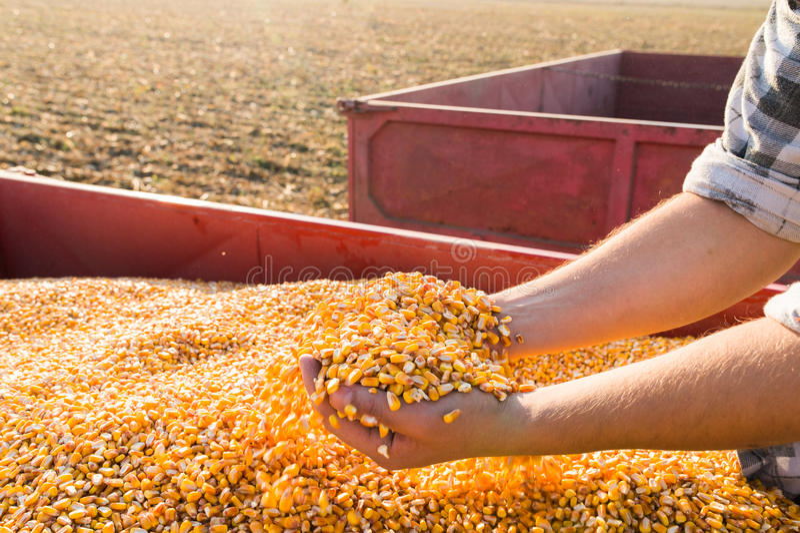 Graine de maïs dans des mains d'agriculteur image libre de droits