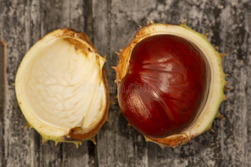 Graine de marron d'Inde de Brown dans sa cosse verte épineuse image stock