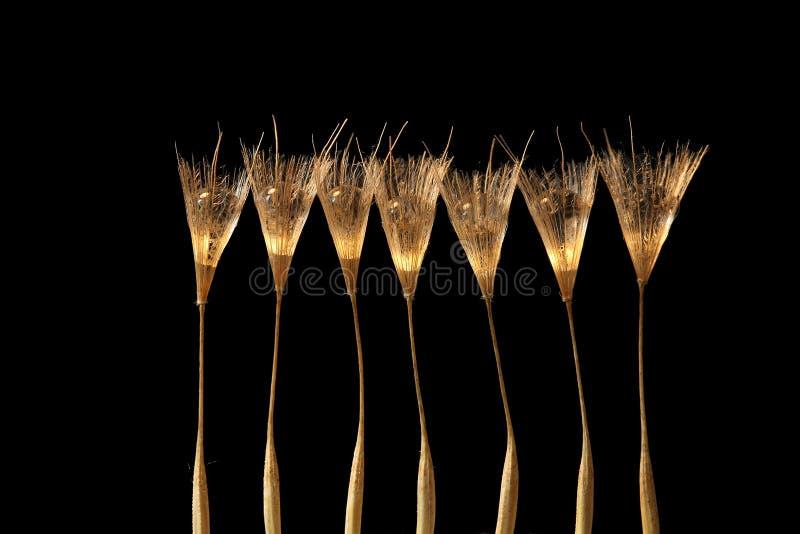 Graine de pissenlit avec la baisse de l'eau en glace de champagne image libre de droits