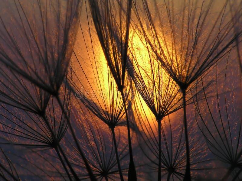 Graine de pissenlit avec le soleil image libre de droits