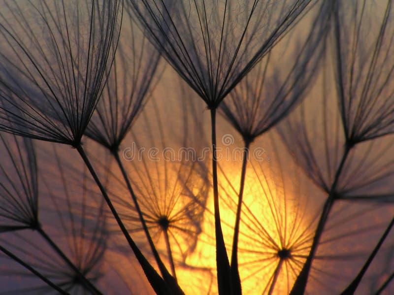 Graine de pissenlit avec le soleil photographie stock libre de droits