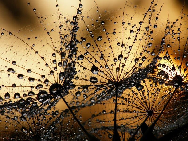Graine humide de pissenlit photo libre de droits