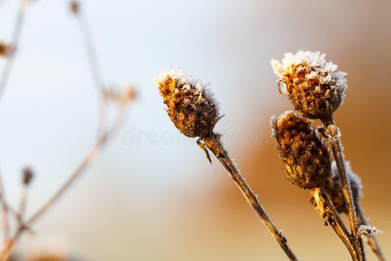 Graines congelées d'herbe sauvage de pré photographie stock