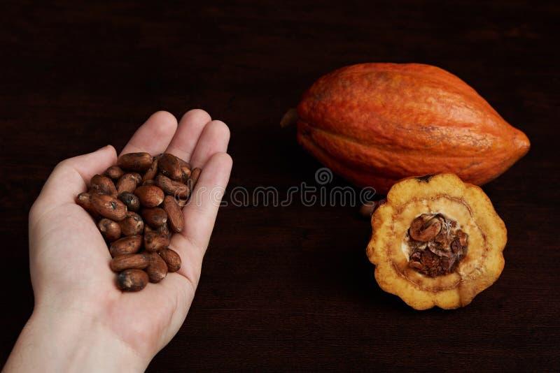 Graines de cacao dans la main de paume photos libres de droits