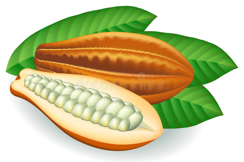 Graines de cacao. Illustration de vecteur. illustration stock