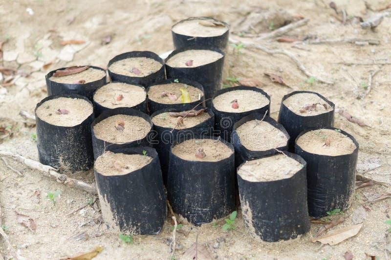 Graines de durian en plastique noir pour la culture de jeune arbre photographie stock libre de droits