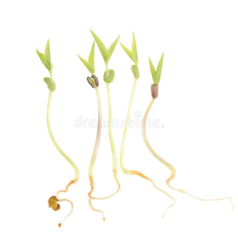 Graines de germination photo stock