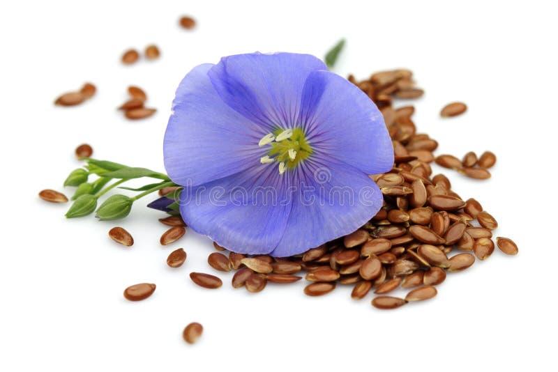 Graines de lin avec la fleur photos libres de droits