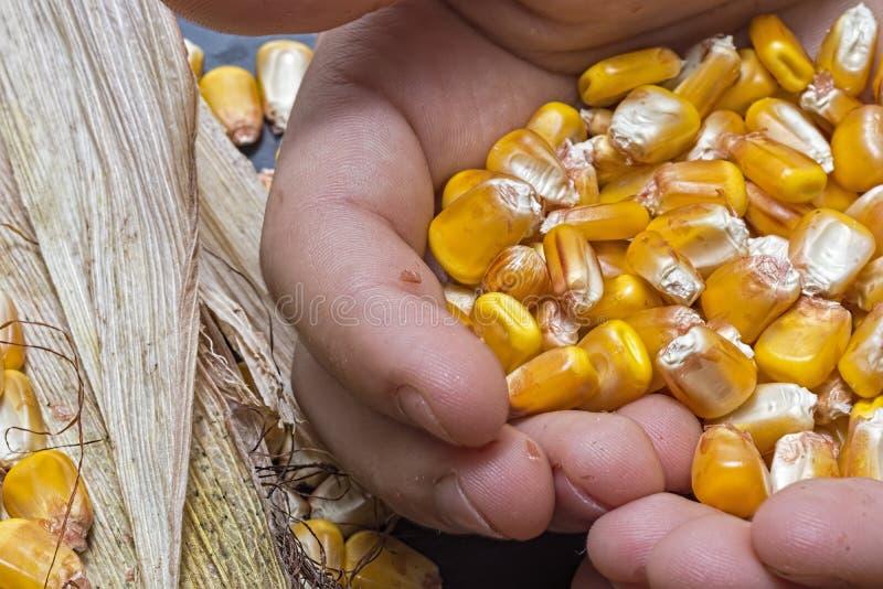 Graines de maïs dans des mains d'agriculteur Close Up photo libre de droits