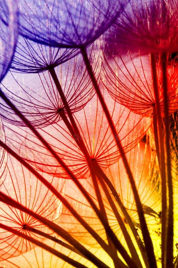 Graines de pissenlit dans des couleurs d'arc-en-ciel photos libres de droits