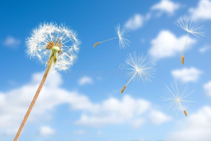 Graines de pissenlit dans le vol de vent dans le ciel photographie stock libre de droits